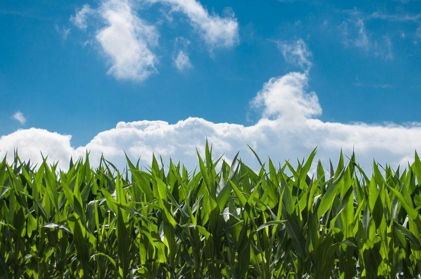 Corn field GMO